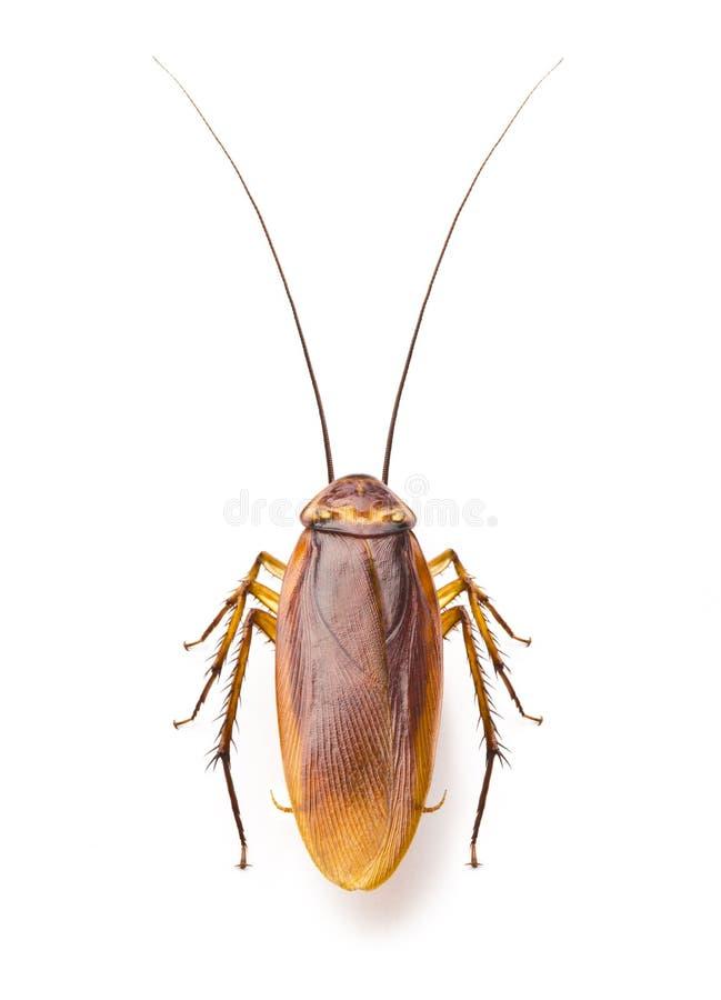 Sluit omhoog kakkerlak op witte achtergrond stock afbeeldingen
