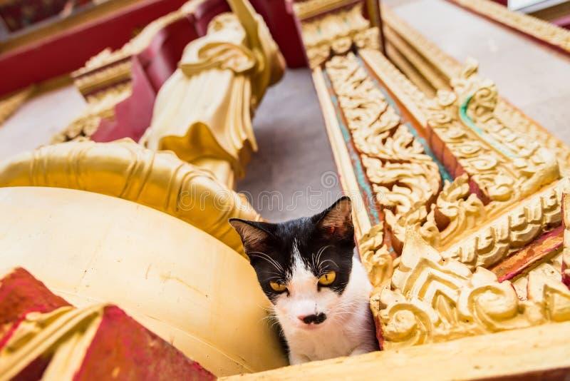 Sluit omhoog kat in de tempel Phuket thailand stock foto