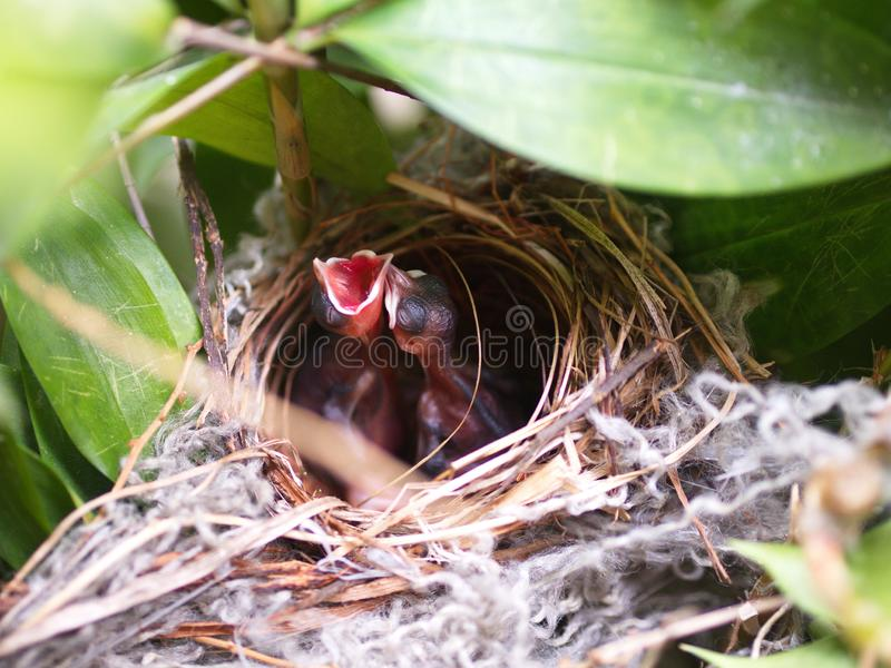 Sluit omhoog Kleine tweelingvogel in het Nest in waiti van de Bamboeboom voor voedsel van mamma royalty-vrije stock afbeeldingen