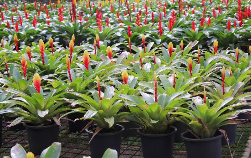 Sluit omhoog kleurrijke bloemen rode en gele bromeliade die met groene bladeren in zwarte plastic pot bij tropische sierplant blo royalty-vrije stock afbeeldingen