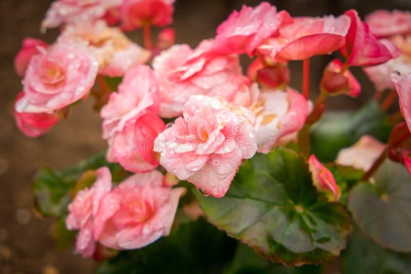 Sluit omhoog kleurrijke rozen met waterdaling in tuin stock foto's