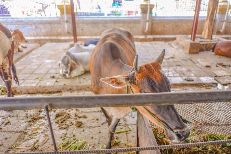 Sluit omhoog Koe in Wat Hua Lamphong Temple royalty-vrije stock fotografie