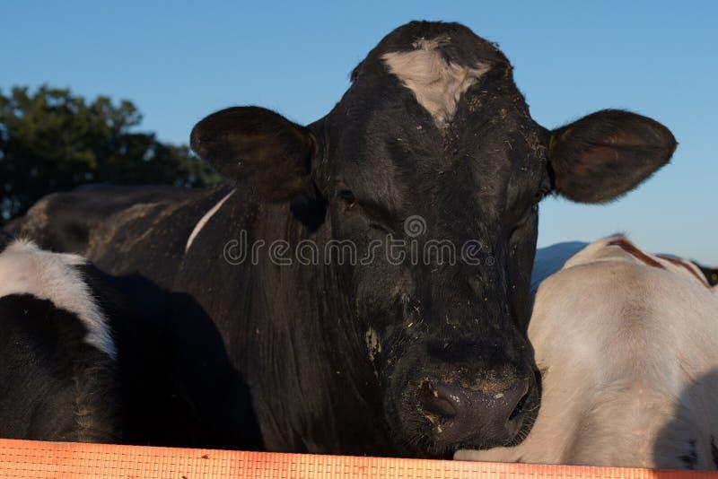 Sluit omhoog koeportret Stieren grappige snuit op weiland die camera bekijken Landbouw Het gezonde veefokken Het dier van het lan royalty-vrije stock foto
