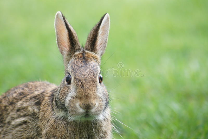 Sluit omhoog konijntje royalty-vrije stock foto's