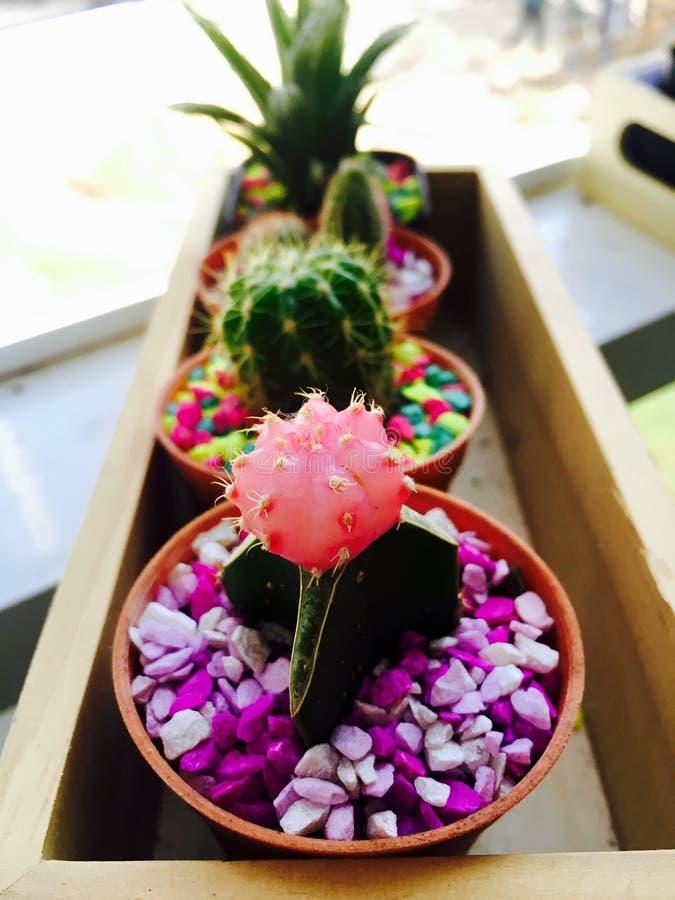 Sluit omhoog leuke roze het bureauinstallaties van de cactuspot royalty-vrije stock fotografie