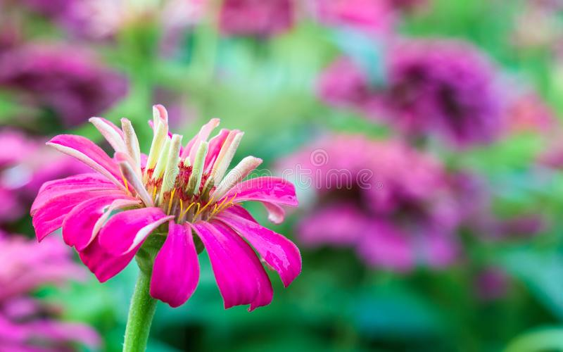 """Sluit omhoog macro van roze wilde bloem """" wordt geschoten die; Wilde Kosmos ' detailblo stock fotografie"""