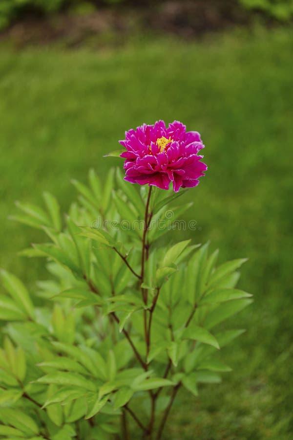 Sluit omhoog macromening van pioenbloem klaar voor het bloeien op achtergrond stock foto's