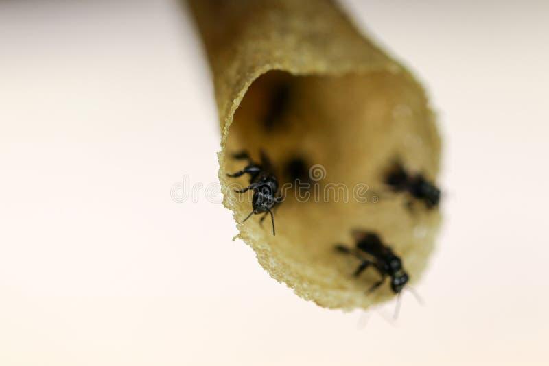 Sluit omhoog macromening van wilde tropische stingless honingbij bij bijenkorf royalty-vrije stock fotografie