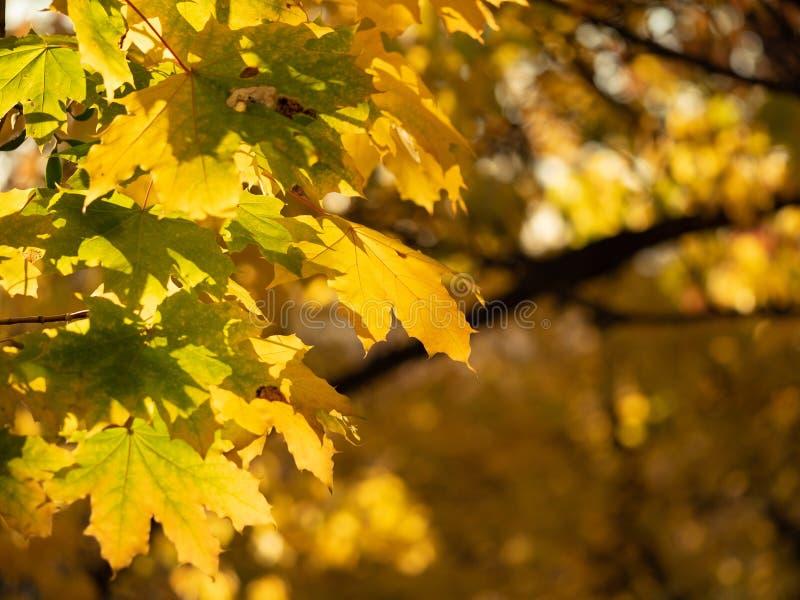 Sluit omhoog mening over gele en groene bladeren in de herfstbos met bokeheffect Kleurrijke aardachtergrond Gouden en stock foto's