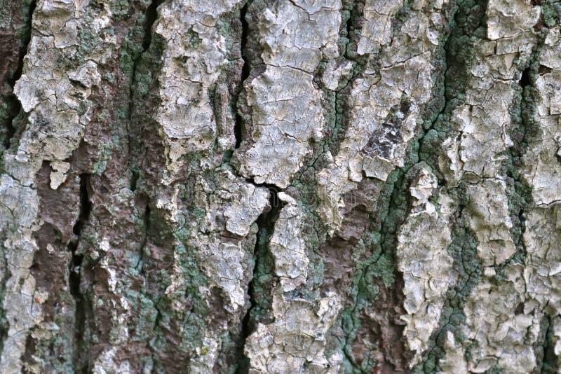 Sluit omhoog mening over prachtig gedetailleerde boomschors van eiken en andere bomen stock foto