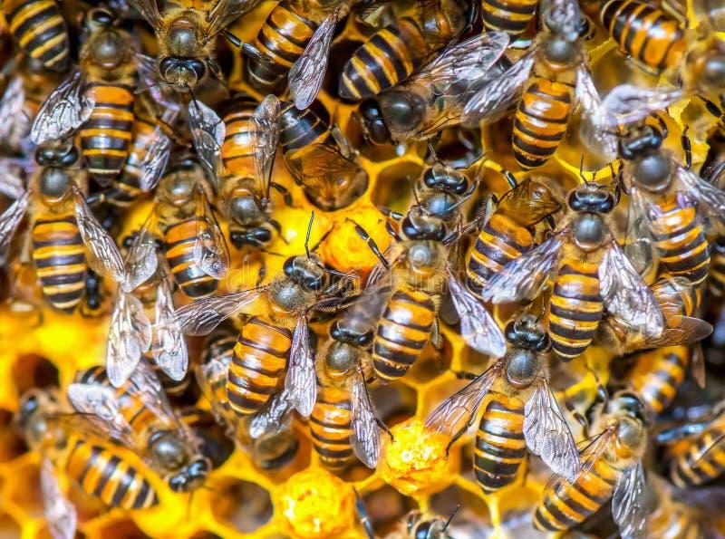 Sluit omhoog mening van de het werk bijen op honingscellen stock foto's