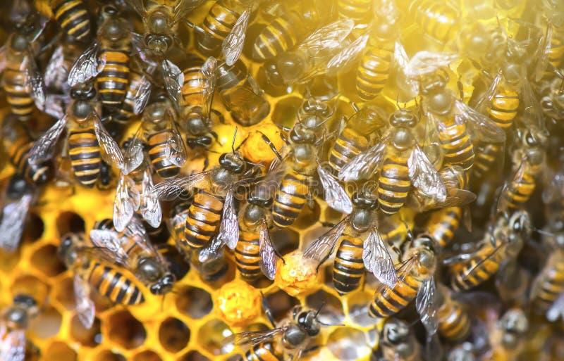 Sluit omhoog mening van de het werk bijen op honingscellen stock afbeelding