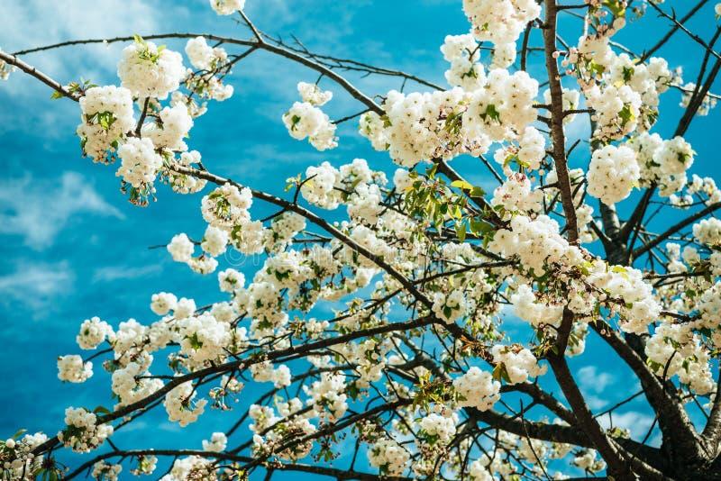 sluit omhoog mening van de mooie bloesem van de kersenboom royalty-vrije stock afbeelding
