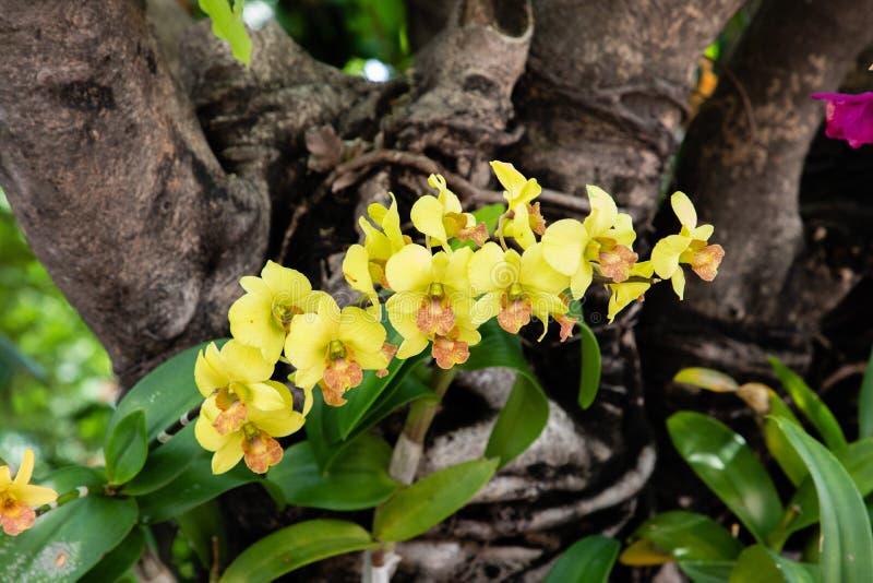 Sluit omhoog mening van een gele orchidee met groene bladeren en een boomstam op de achtergrond royalty-vrije stock afbeeldingen