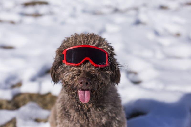 Sluit omhoog mening van een grappige bruine waterhond die rode skibeschermende brillen in de sneeuw dragen zonnig weer Huisdieren stock afbeeldingen