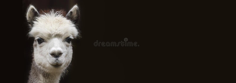 Sluit omhoog Mening van een jonge Alpaca met Exemplaarruimte voor zwarte achtergrond stock fotografie