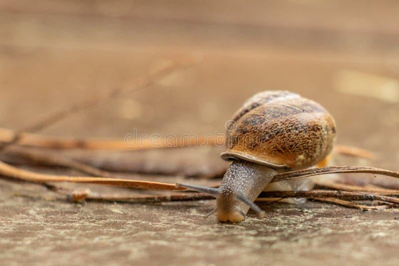 Sluit omhoog mening van een leuke tuinslak, langzaam komend uit zijn shell Mooi, bruin, fibonacci, spiraal, schroefpatroon stock foto