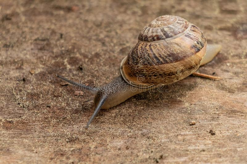 Sluit omhoog mening van een leuke tuinslak, langzaam komend uit zijn shell Mooi, bruin, fibonacci, spiraal, schroefpatroon stock afbeeldingen