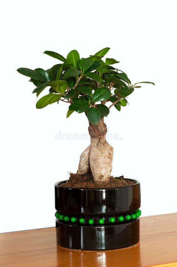 Sluit omhoog mening van een mooie Ginseng van de Bonsaificus in een zwarte pot De Ginseng van de bonsaificus op witte achtergrond royalty-vrije stock afbeelding