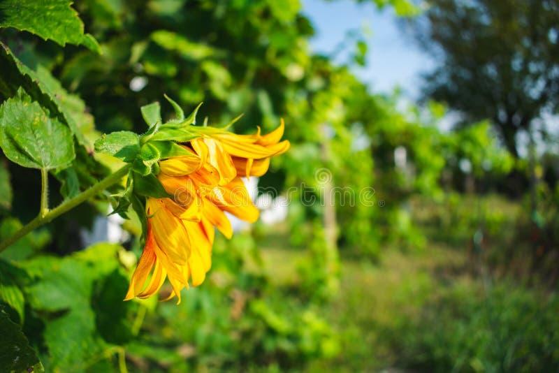 Sluit omhoog mening van een mooie zonnebloem in de tuin in zonlicht stock afbeelding