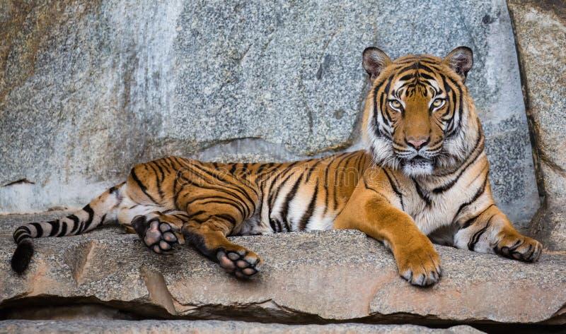 Sluit omhoog mening van een tijger Tussen Indië en China stock foto's