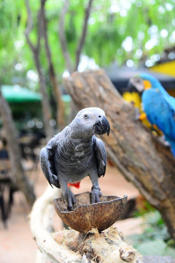 Sluit omhoog mening van Kleurrijke de Aravogel van Amazonië stock afbeelding