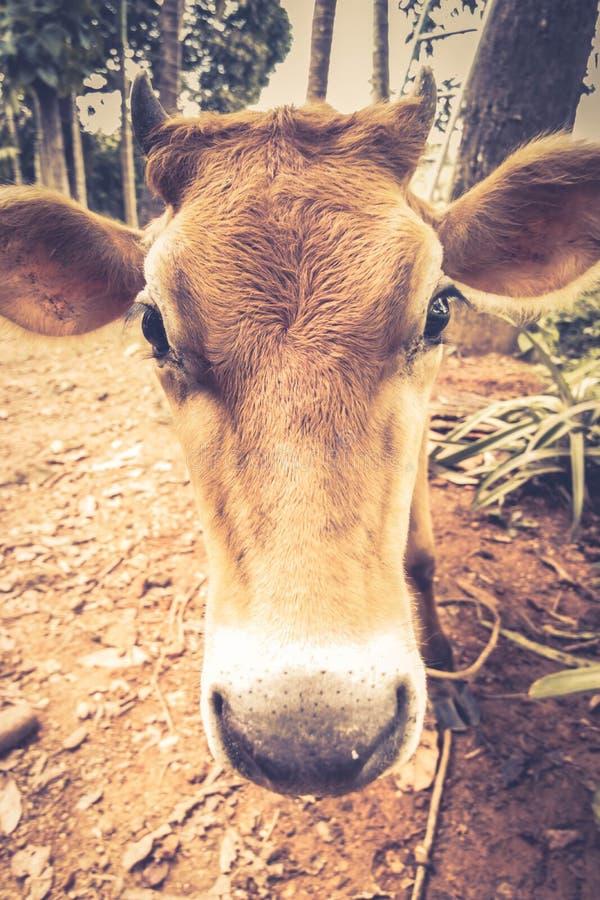 Sluit omhoog mening van koe` s hoofd stock fotografie