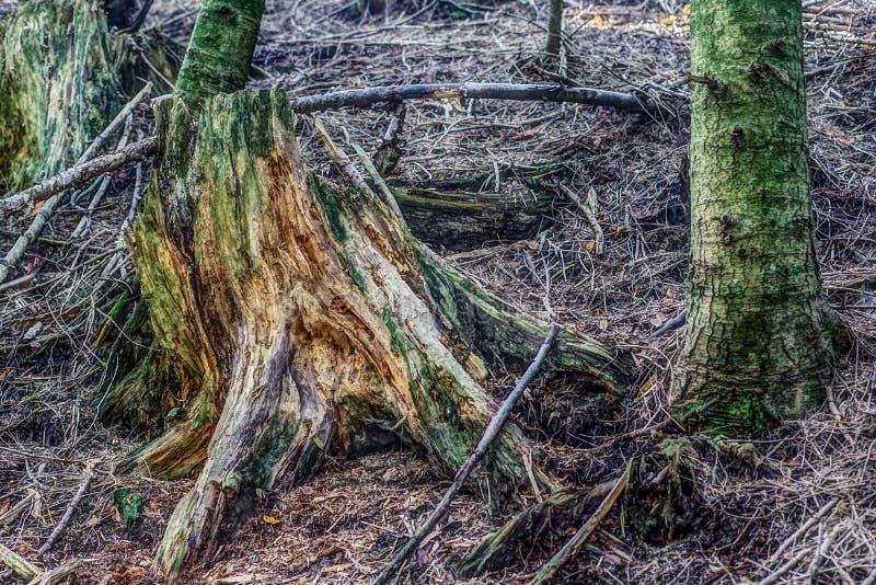 Sluit omhoog mening van oude droge stomp in de herfst boshdr techniq stock foto