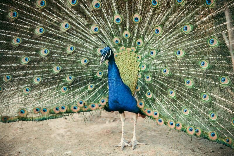 sluit omhoog mening van pauw die veren tonen royalty-vrije stock foto