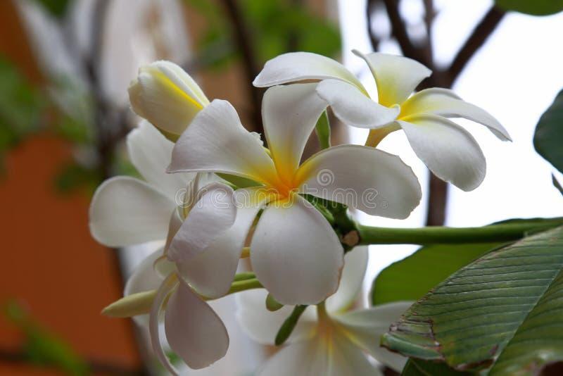 Sluit omhoog mening van schitterende witte orchideebloem in geïsoleerde nadruk stock fotografie