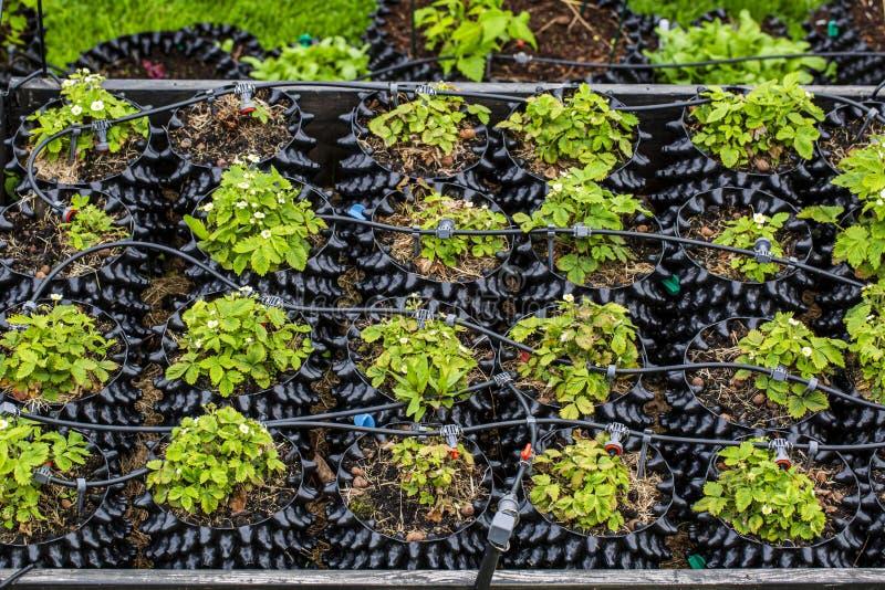 Sluit omhoog mening van strowberry installaties in lucht-potten met het water geven van systeem stock afbeeldingen