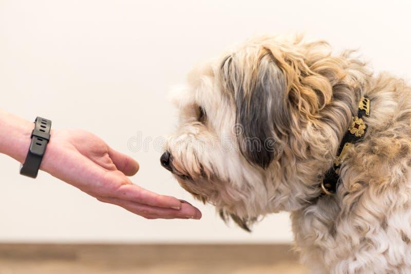 Sluit omhoog meningsbovenkant van hondpoten en menselijke hand - vriendschap tussen de terriërvoet van hefboomrussell en mens royalty-vrije stock afbeelding