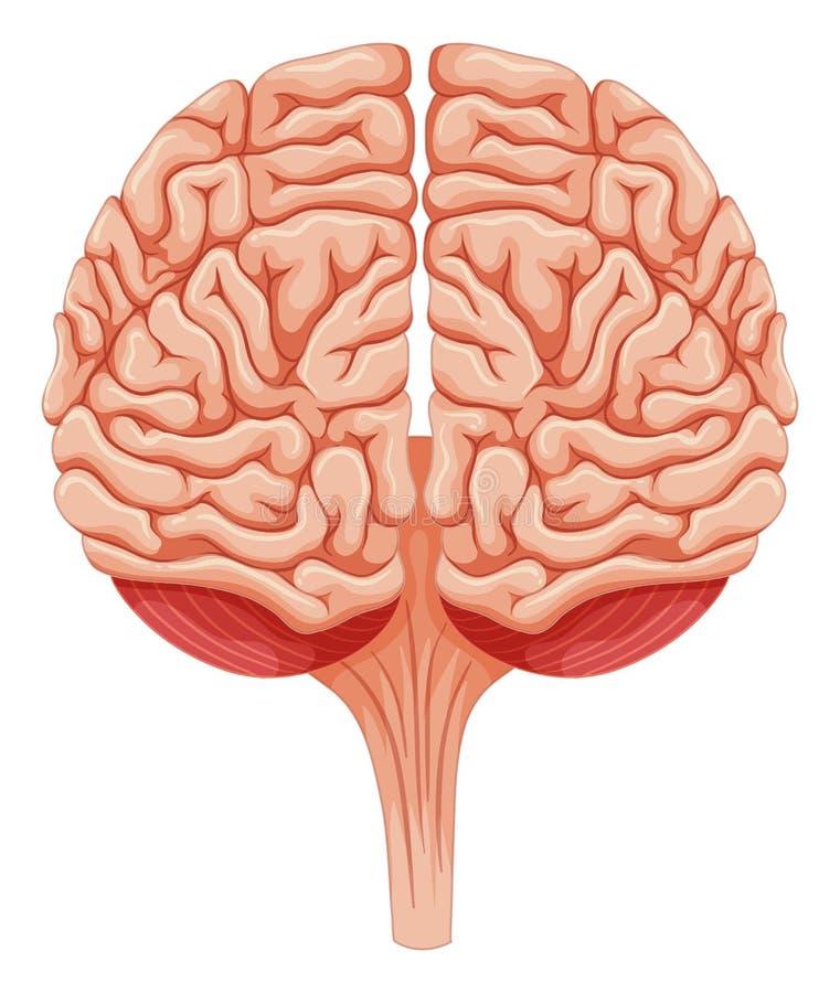 Sluit omhoog menselijke hersenen stock illustratie