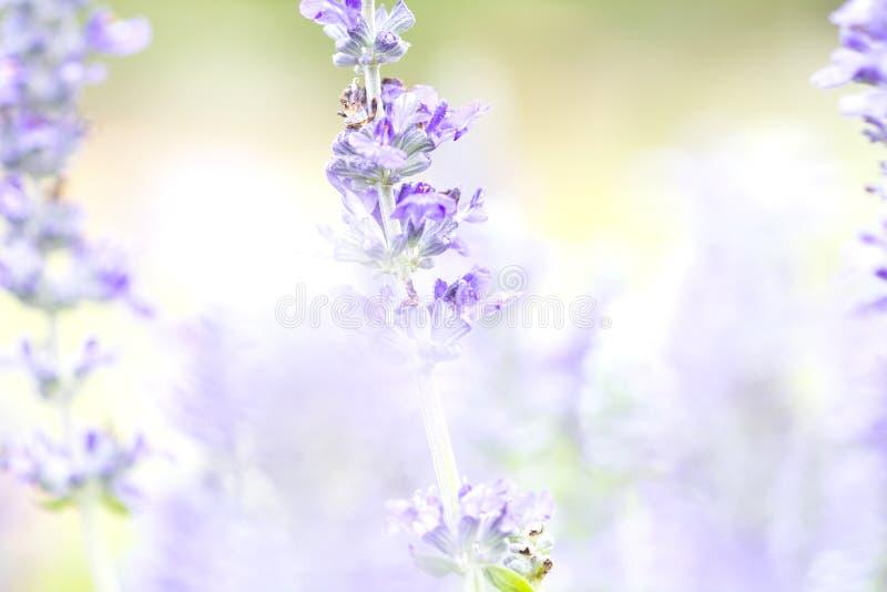 Sluit omhoog mooie bloem in tuin, Wijze installatie (lat Salvia Officinalis) royalty-vrije stock afbeeldingen