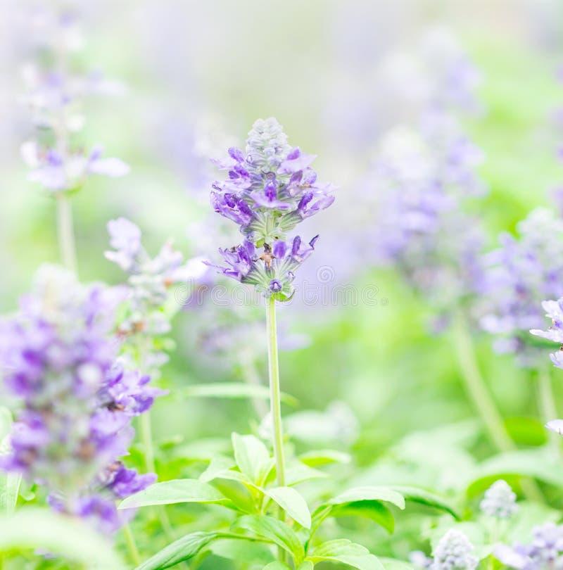Sluit omhoog mooie bloem in tuin, Wijze installatie (lat Salvia Officinalis) royalty-vrije stock afbeelding