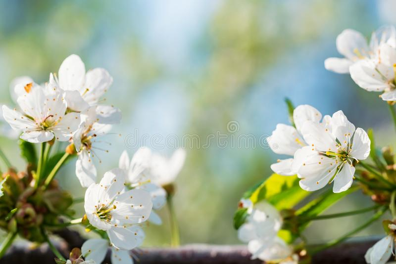 Sluit omhoog mooie bloemen van kers op tak stock foto