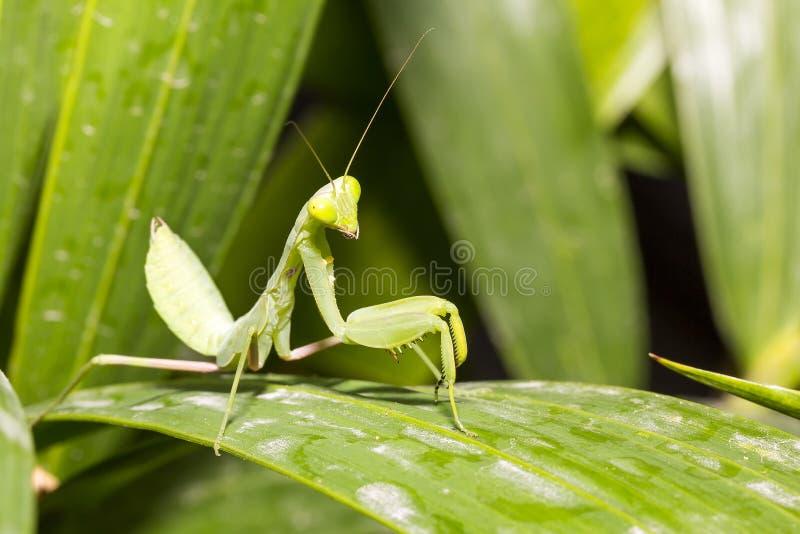 Sluit omhoog mooie en gezonde groene bidsprinkhanen die zich op blad bevinden stock afbeelding