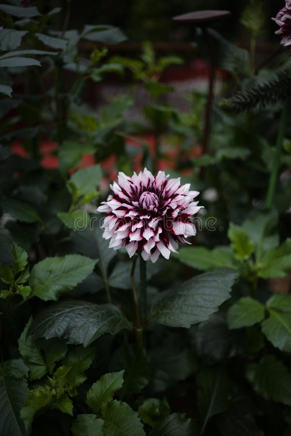 Sluit omhoog mooie grote violette bloem in de tuin royalty-vrije stock foto