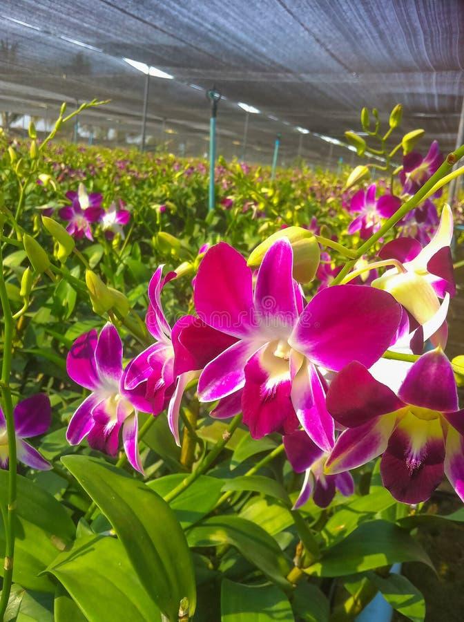 Sluit omhoog mooie Mottenorchideeën royalty-vrije stock afbeelding