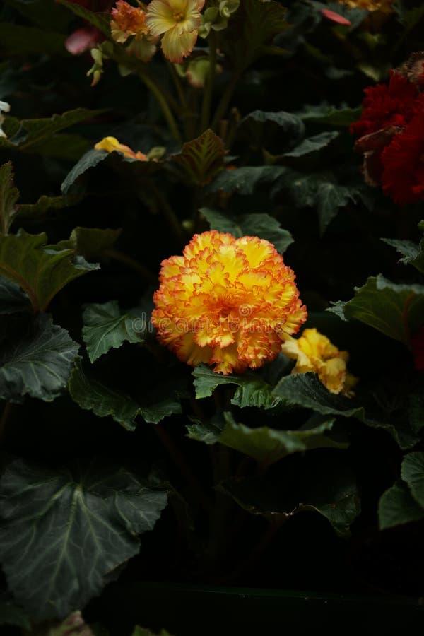 Sluit omhoog mooie oranje bloem stock afbeelding