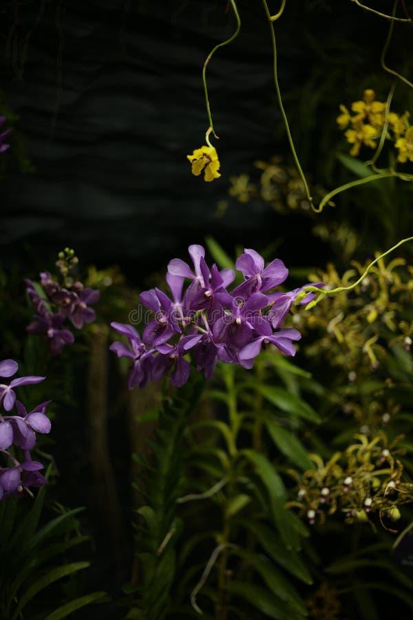 Sluit omhoog mooie purpere orchidee stock foto's