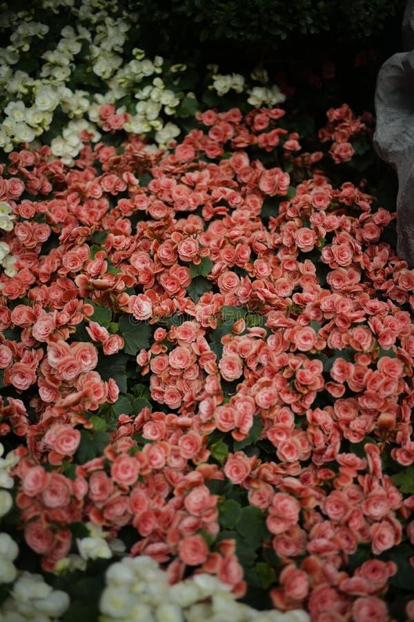 Sluit omhoog mooie uiterst kleine rode en witte bloem royalty-vrije stock foto