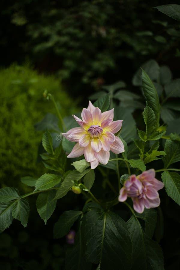 Sluit omhoog mooie uiterst kleine roze bloem in de tuin royalty-vrije stock afbeelding