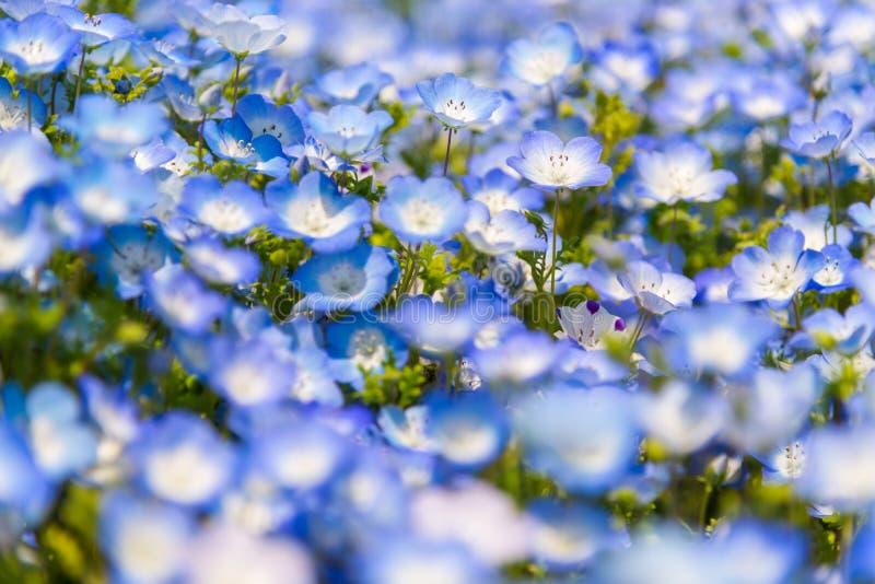 Sluit omhoog Nemophila, bloemgebied bij Hitachi-Kustpark in de lente royalty-vrije stock foto