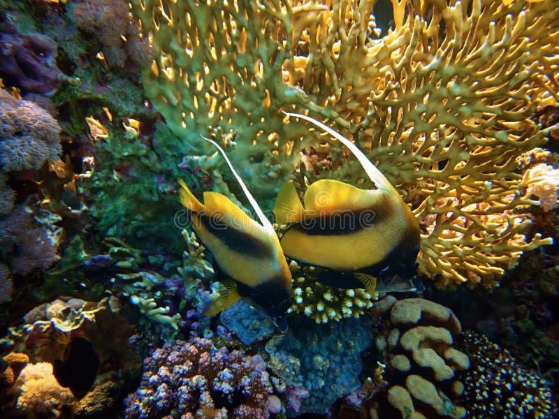 Sluit omhoog onderwaterfoto van Rode Overzees bannerfish in koraalriffen royalty-vrije stock fotografie