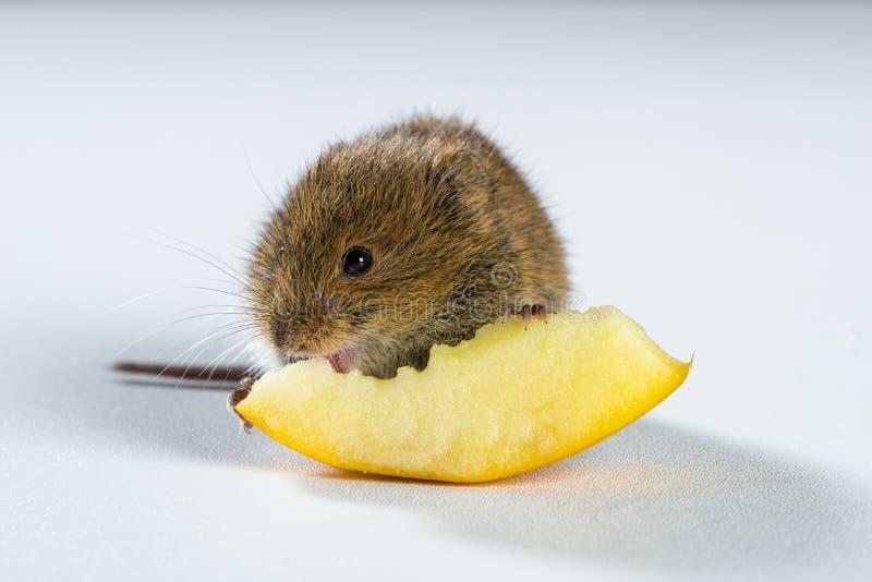Sluit omhoog op bruine veldmuis etend een stuk van appel stock fotografie
