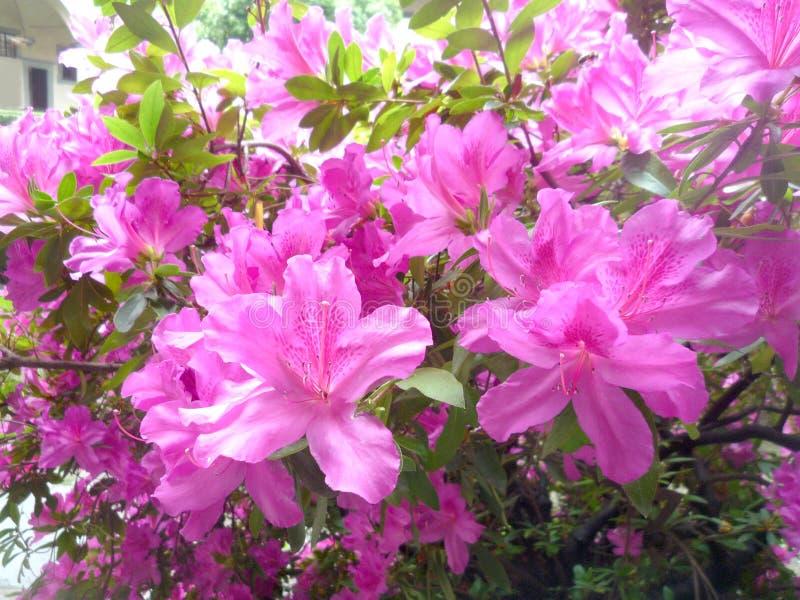 Sluit omhoog op een struik van roze azalea's stock foto