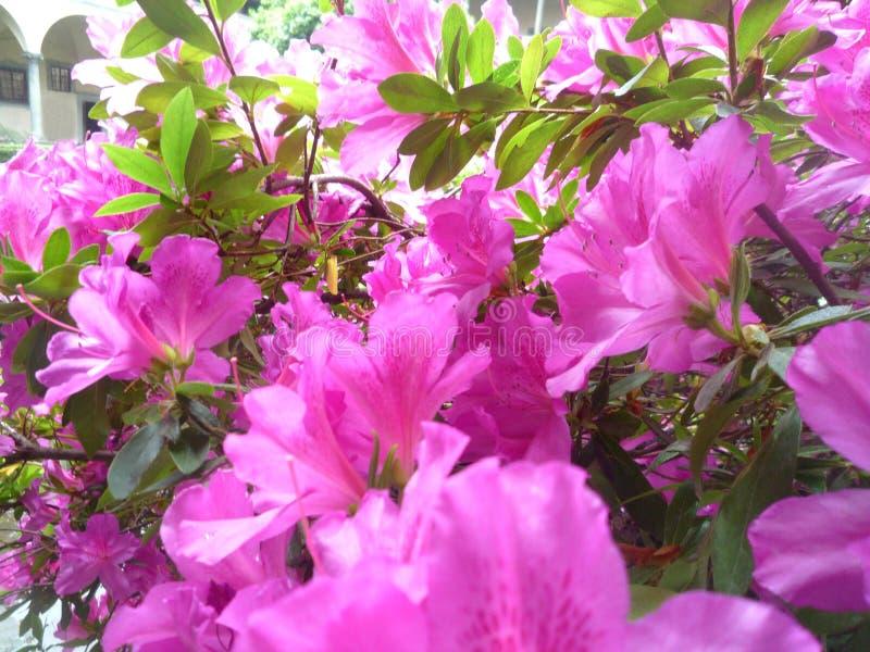 Sluit omhoog op een struik van roze azalea's stock fotografie