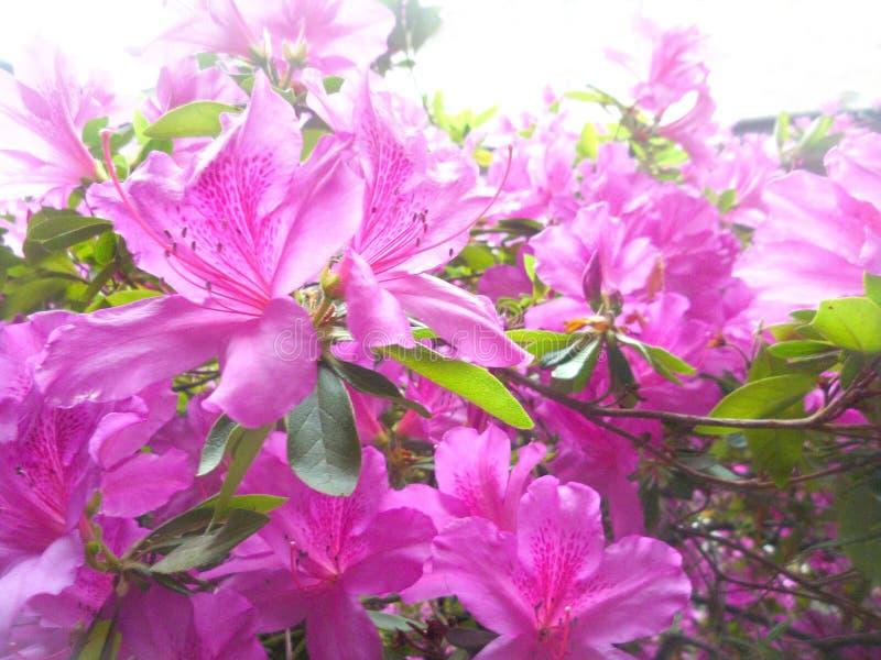 Sluit omhoog op een struik van roze azalea's royalty-vrije stock afbeelding