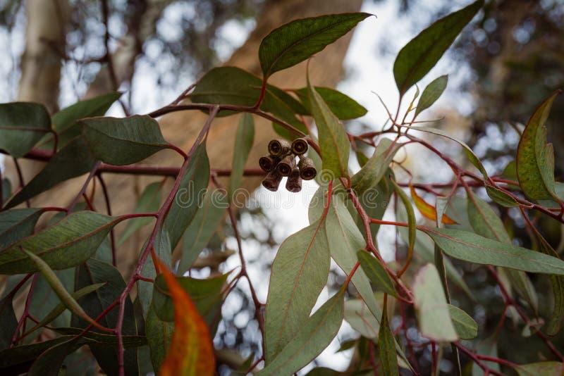 Sluit omhoog op eucalyptustak met bloemknoppen stock fotografie